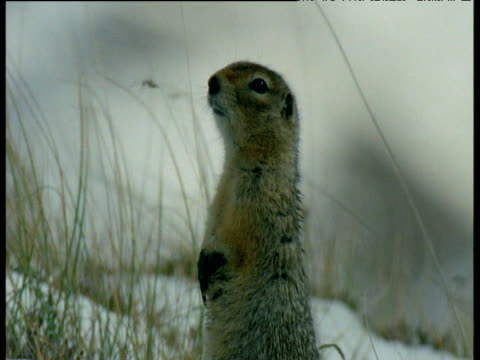 ground squirrel looks around in snow, denali national park - denali national park stock videos & royalty-free footage