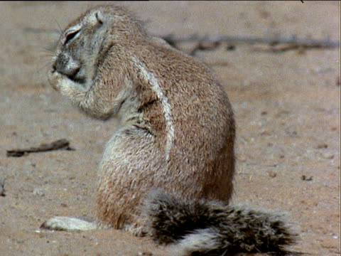ground squirrel sits and grooms in sand, rubbing and scratching itself with paws - rubbing stock videos & royalty-free footage