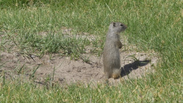 ground squirrel - roditore video stock e b–roll