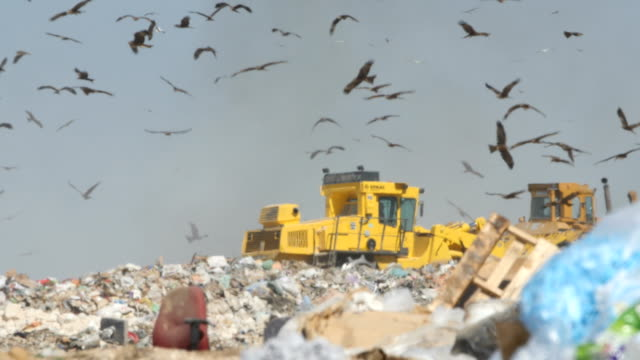 Ground view - Thousands of Black Kites (Milvus migrans) foraging on a huge rubbish dump while heavy vehicles and garbage trucks bring more garbage/ Duda'im rubbish dump, southern Israel