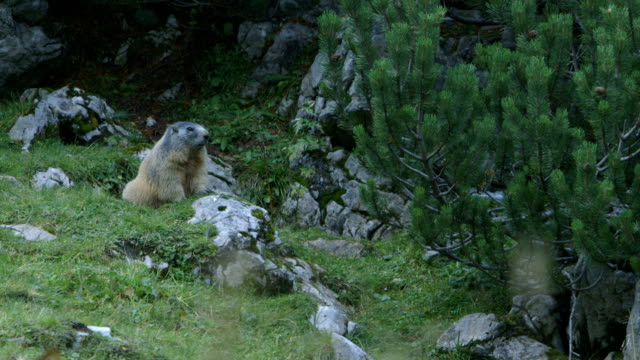 groundhog / marmot in the alps (murmeltier / alpen) - marmot stock videos & royalty-free footage