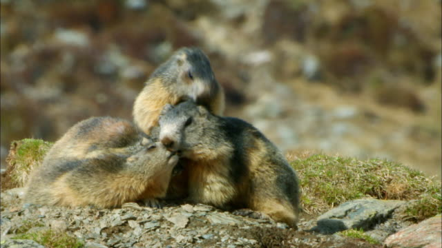 vidéos et rushes de groundhogs eating grass - 20 secondes et plus