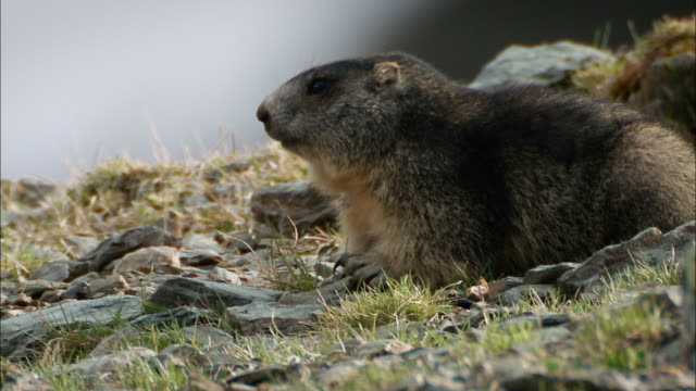 groundhogs on grass moving and looking around - group of animals stock videos & royalty-free footage