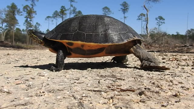 ground-level shot, following walking chicken turtle in forest - freshwater stock videos & royalty-free footage