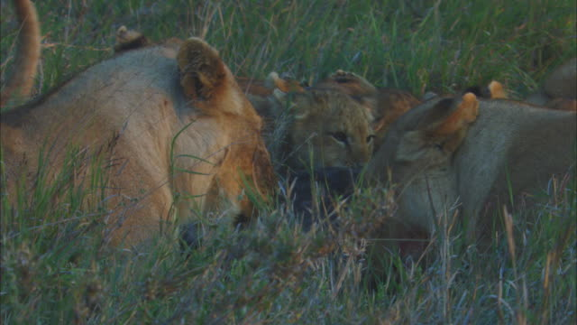 group eating wildebeest zi to cu african lion cub eating  - medium group of animals stock videos & royalty-free footage