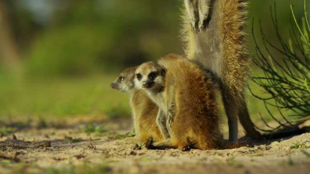 ms group of 3 meerkat pups cuddle as parent stands by then second parent joins - guarding stock videos & royalty-free footage