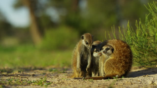 group of 3 meerkat pups cuddle with parent - embracing stock videos & royalty-free footage