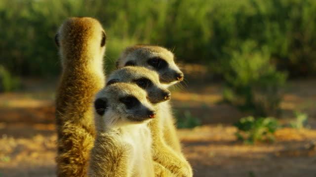 vídeos y material grabado en eventos de stock de cu group of 3 meerkats standing in dawn light suddenly look to camera - grupo pequeño de animales
