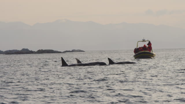 group of 4 orcas surface and breathe together in profile with whalewatching boat close in background - wal oder delfingruppe stock-videos und b-roll-filmmaterial