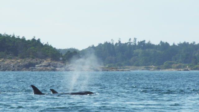 Group of 4 Orcas surface and breathe with wooded coastline in background