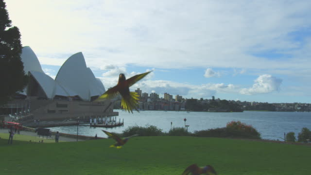 Group of 5 Rainbow Lorikeets flying across park backlit with Sydney Opera House and harbour in background