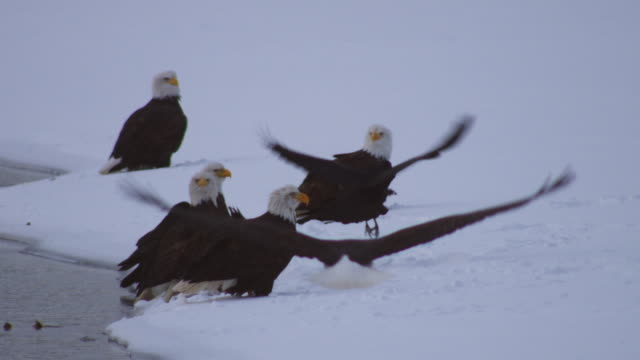 Group of 6 Bald Eagles standing in snow by river with Ravens as another eagle flies in and lands