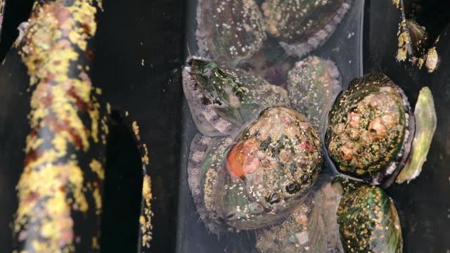 vidéos et rushes de group of abalones in farm / wando-gun, jeollanam-do, south korea - crustacé