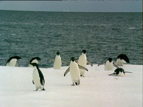 group of adeile penguins waddling on ice floe in sea. further penguins leap out of sea and join them. - waddling stock videos & royalty-free footage