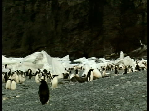 vidéos et rushes de ms group of adelie penguins chasing albatross through colony, antarctica - colony