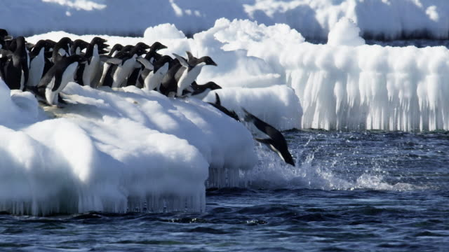 group of adelie penguins jump into antarctic ocean - diving into water stock videos & royalty-free footage