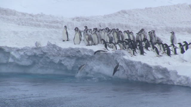 group of adelie penguins jump into sea with fledgling emperor penguins in background - penguin stock videos & royalty-free footage