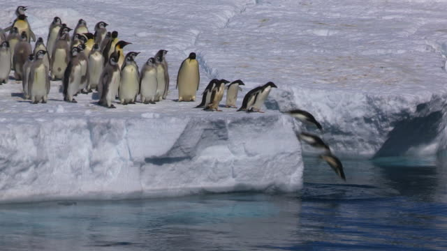 group of adelie penguins jump into sea with fledgling emperor penguins alongside - penguin stock videos & royalty-free footage