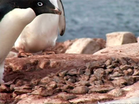 CU group of Adelie Penguins, Pygoscelis adeliae, chick begging adult for food, adult feeds chick, zoom out to MS penguin building nest with stones, Antarctica