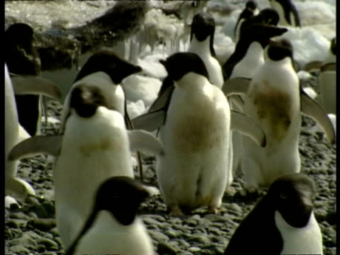 ms group of adelie penguins, pygoscelis adeliae, waddling over rocky ground, antarctica - waddling stock videos & royalty-free footage