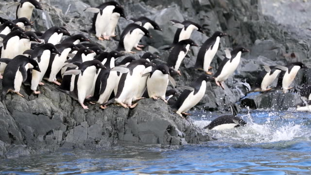 Group of Adelie Penguins rush into the sea