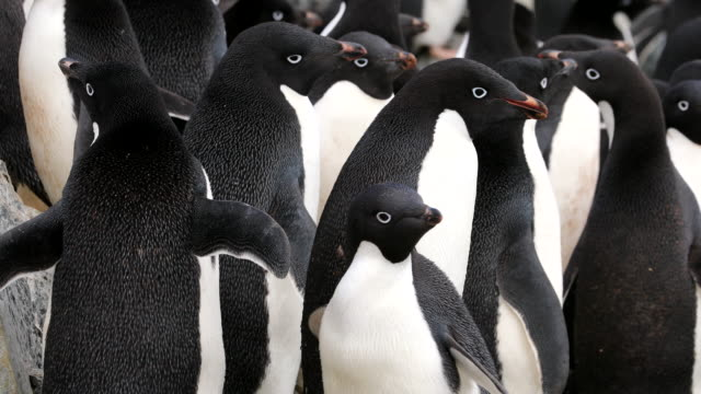 stockvideo's en b-roll-footage met group of adelie penguins - colony