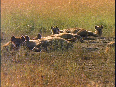 vídeos y material grabado en eventos de stock de group of adult + baby spotted hyenas lying in grass lift heads + look at camera / africa - animales de safari