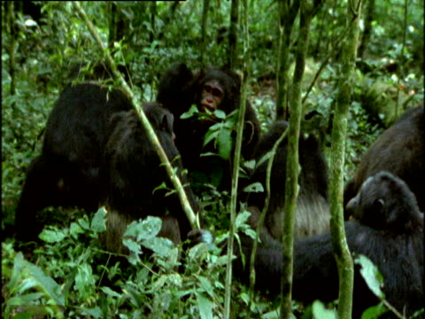 Group of adult male chimps gang up and savagely beat young male in forest, Uganda