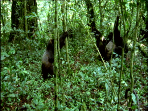Group of adult male chimps gang up, savagely beat and chase young male in forest, Uganda