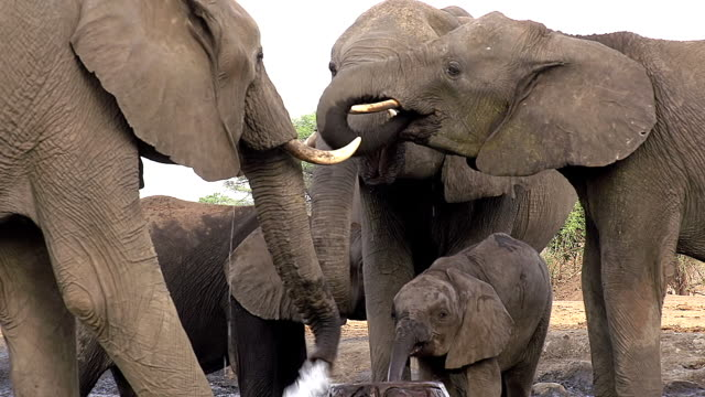 MS Group of African Elephant drinking water Near Chobe River / Chobe Game Reserve, Botswana, South Africa