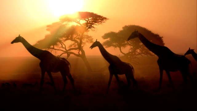Grupo as girafas africana ao pôr do sol