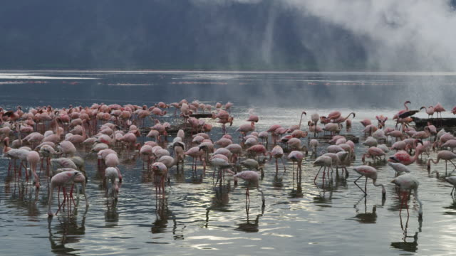 group of african lesser flamingoes feeding on lake with steam blowing through shot - large group of animals stock videos & royalty-free footage