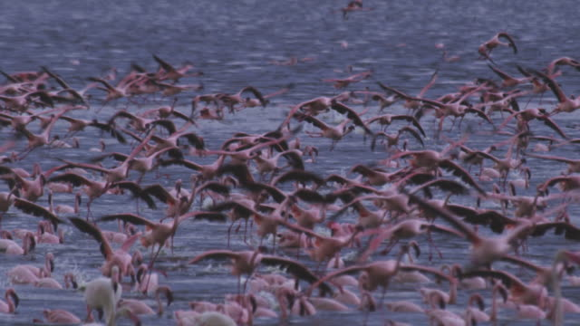 group of african lesser flamingoes landing amongst others swimming in lake bogoria - flamingo bird stock videos & royalty-free footage