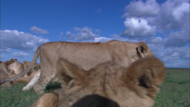 vídeos de stock e filmes b-roll de group of african lion cubs amd lionesses close to camera pan with a cub as it walks through the group looking intently at lens then pan across group to cub very close to camera  - deitar se