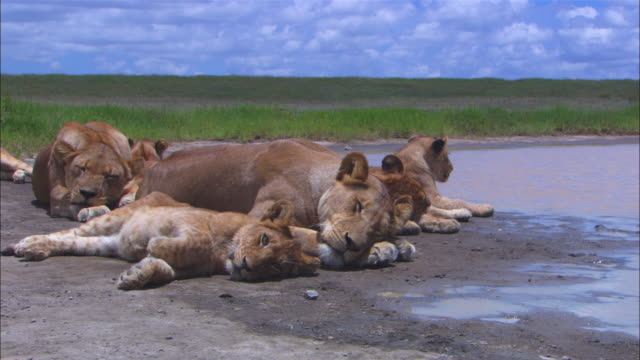 group of african lion cubs and lionesses sleep by waterhole with one cub rolling around - resting stock videos & royalty-free footage