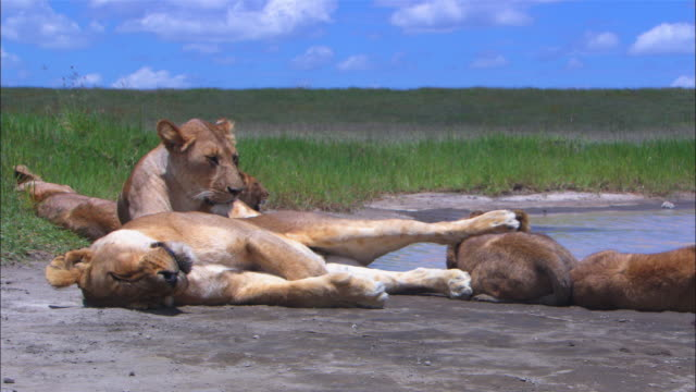 group of african lion cubs and lionesses sleeping by waterhole with foot on lioness resting on cub zi to ms cub and foot  - resting stock videos & royalty-free footage