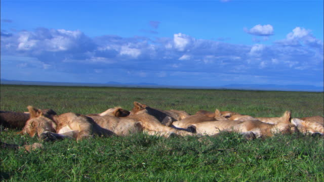 Group of African lion cubs and lionesses sleeping close to camera then all snap to attention