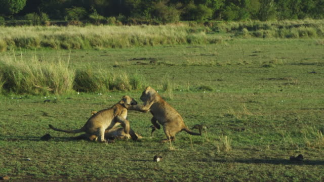 SLOMO WS group of African lion cubs play fight in long grass