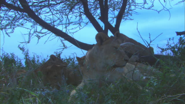 vídeos de stock e filmes b-roll de group of african lionesses and cubs rest under tree and lie down - deitar se