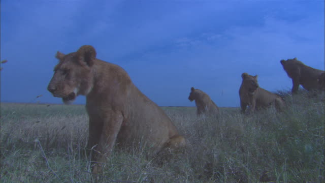 Group of African lionesses sit in long grass with flies around mouths after feeding one walks up to camera and looks into lens