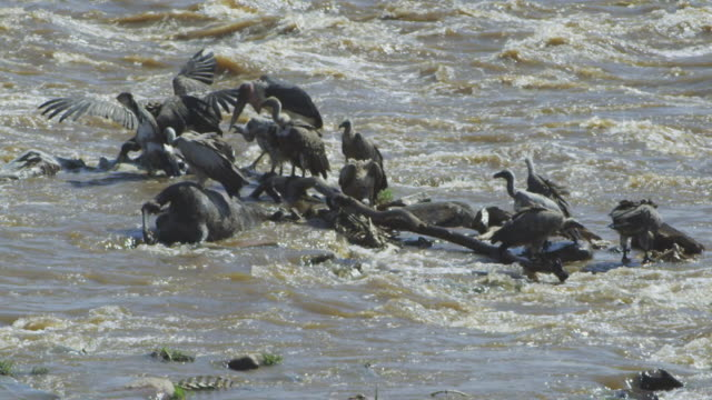 Group of African vultures feed on Wildebeest carcase in fast flowing river