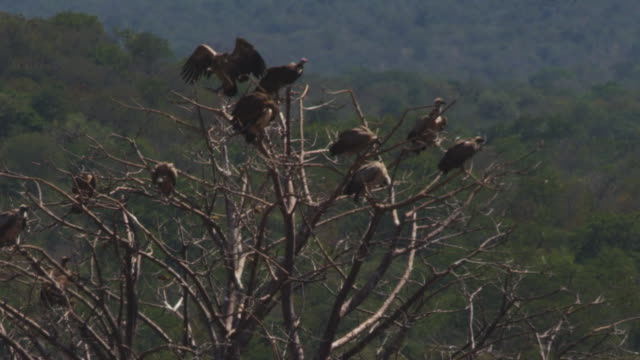 vídeos de stock e filmes b-roll de ws group of african vultures perched in bare tree with heat haze - bare tree
