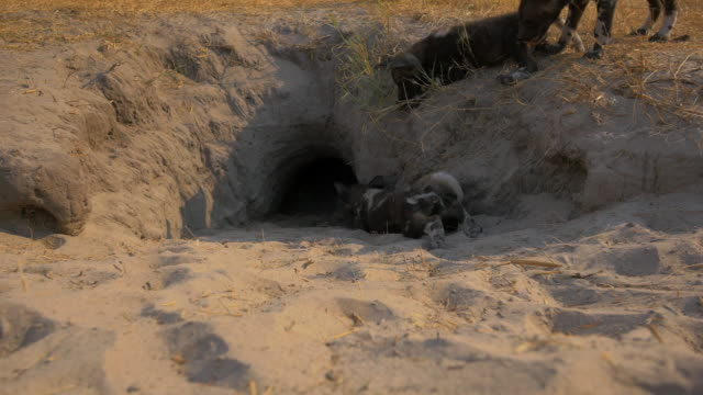 group of african wild dog pups crawl and play at mouth of den - small group of animals stock videos & royalty-free footage