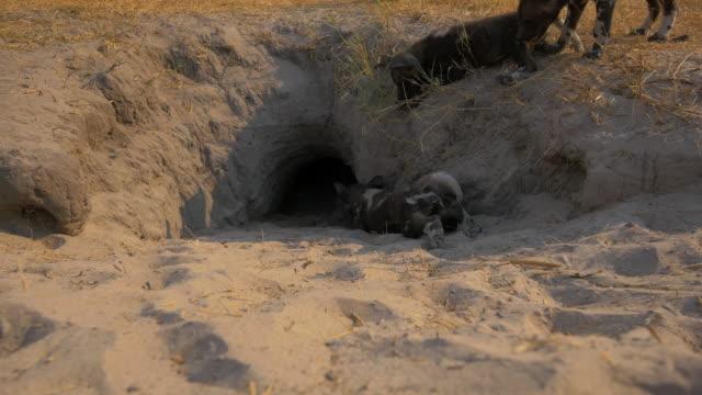 group of african wild dog pups crawl and play at mouth of den - kleine gruppe von tieren stock-videos und b-roll-filmmaterial
