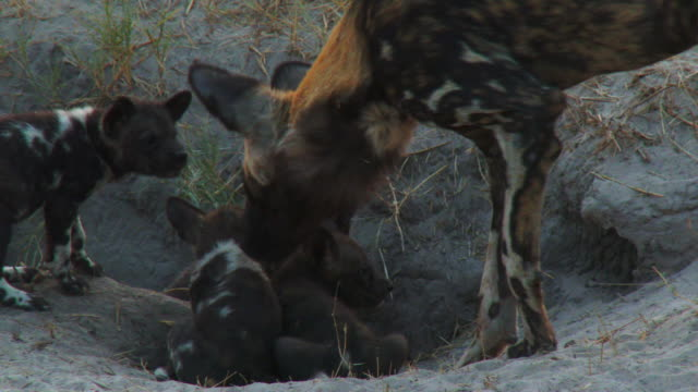 ms group of african wild dog pups in den entrance joined by adult - medium group of animals stock videos & royalty-free footage