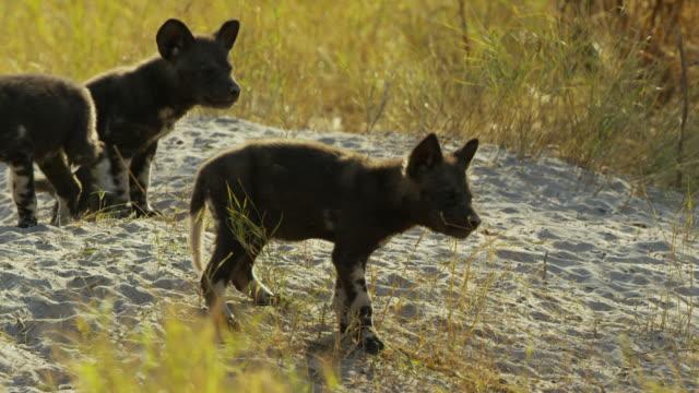 vidéos et rushes de group of african wild dog pups look out nervously near den - quatre animaux