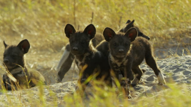 group of african wild dog pups look to camera nervously near den - medium group of animals stock videos & royalty-free footage