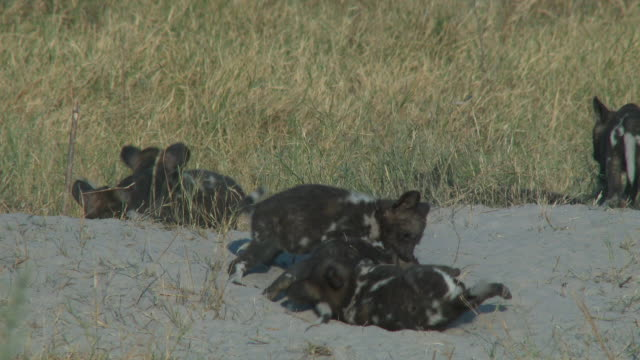 group of african wild dog pups play fight at den - medium group of animals stock videos & royalty-free footage