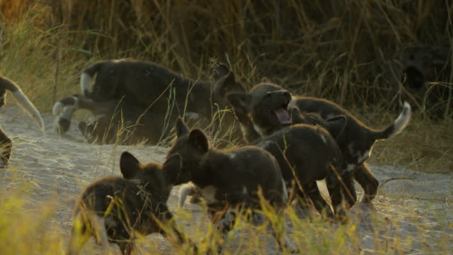 vidéos et rushes de group of african wild dog pups play fight at den - terrier création animale