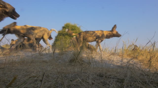 la group of african wild dogs run around close to camera - group of animals stock videos & royalty-free footage